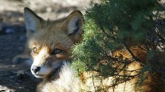 Fox, watching impatiently