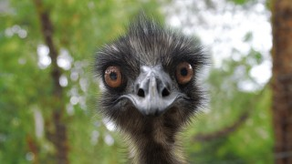 Emu, looking like it&#039;s staring in disbelief
