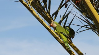 Parrots grabbing dades in a palm tree