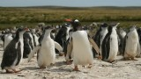 Gento Penguins on Falklands/Malvinas Islands. Photo by chrispearson72 at FlickR