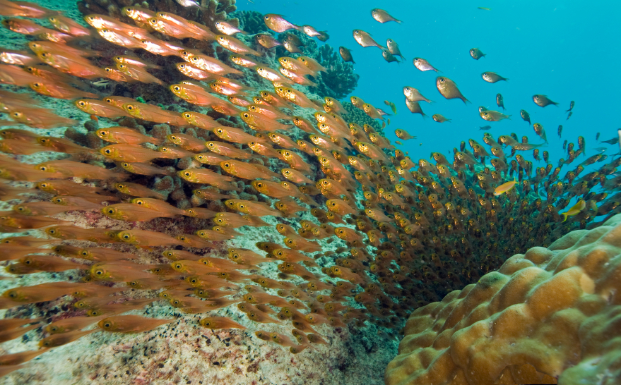 A Swarm in Nature: shoals of fish